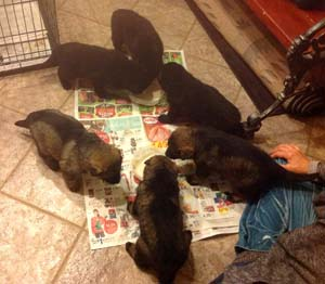 The new puppies first real meal