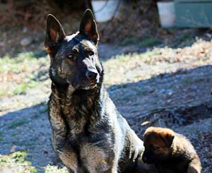 Xena: grand dam of current litter and Raven's dam